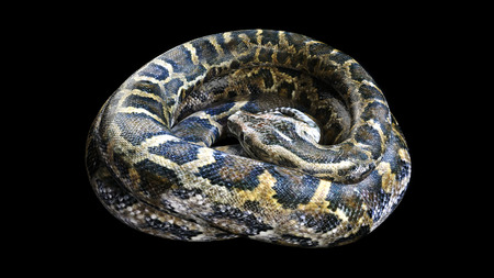3d Boa Constrictor The Worlds Biggest Venomous Snake Isolated on Black Background, 3d Illustration, 3d Rendering Stock Photo