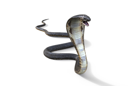 3d King Cobra The Worlds Longest Venomous Snake Isolated on White Background, King Cobra Snake, 3d Illustration, 3d Rendering