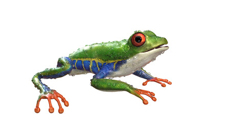 3d Illustration Red-Eyed Amazon Tree Frog (Agalychnis Callidryas),A tropical rain forest animal with vibrant eye isolated on a white background. 3d rendering. Stok Fotoğraf