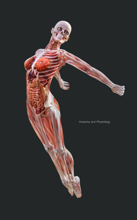3d Illustration Human of a Female Skeleton Muscle System, Bone and Digestive System with Clipping Path Фото со стока