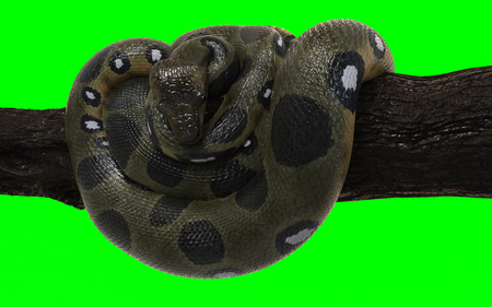 3d Illustration Boa Constrictor The Worlds Biggest Snake Isolated on Green Background with Clipping Path. Green Anaconda.