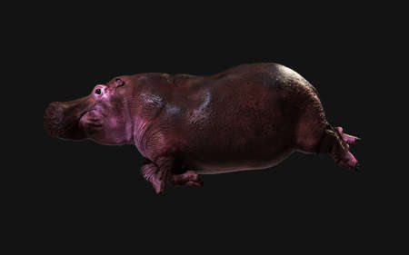 3d Illustration The Common hippopotamus (Hippopotamus Amphibius) posing isolate on dark background