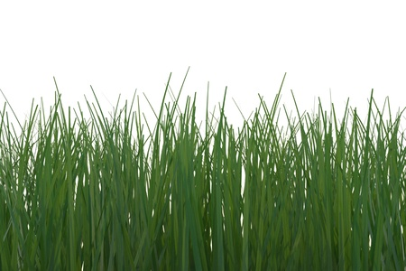 tall grass: Close-up of green grass on white background  Computer generated image