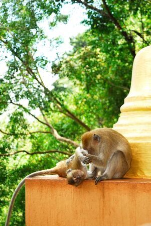 The mother monkey is looking after it children.The crab-eating macaque (Macaca fascicularis), also known as the long-tailed macaque, is a cercopithecine primate native to Southeast Asia.