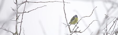 blue tit: Blue Tit in Winter