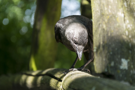 jackdaw: Jackdaw standing on a branch