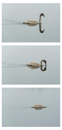 triptych: Triptych, flowing swan