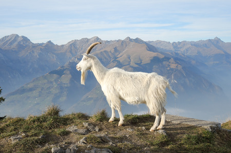 formic: Wild goats grazing at mountain