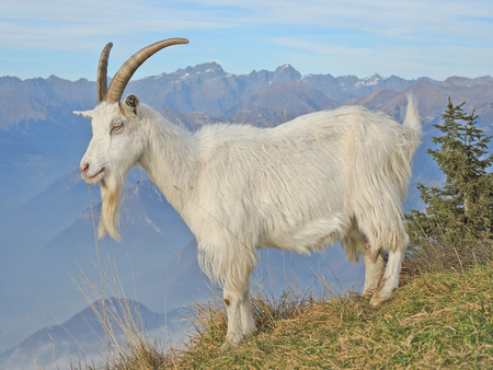formic: Wild goats are grazing at mountain