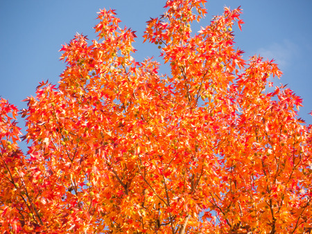 saxifragales: Liquidambar styraciflua autumn Stock Photo
