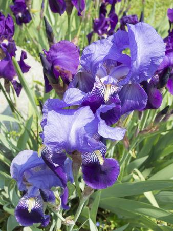 purple irises: purple irises