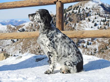 setter: setter dog Stock Photo