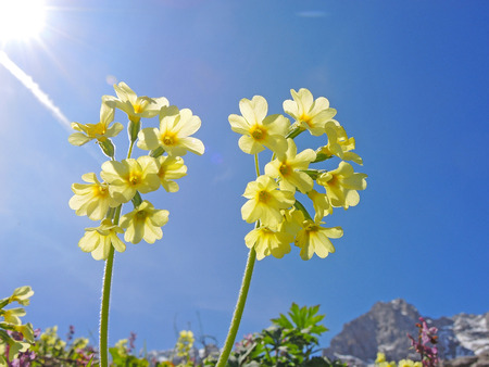 protected plant: Primula auricula