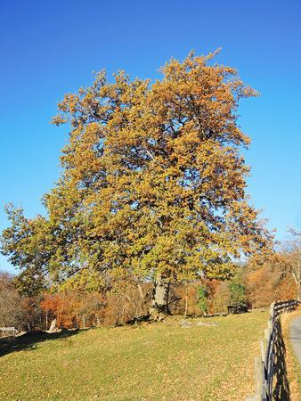 fagaceae: Park of the Oaks. Maienfeld region. Switzerland Stock Photo