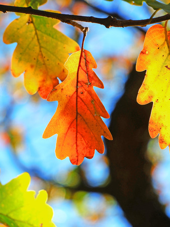 fagaceae: Oak-Quercus-oak leaf