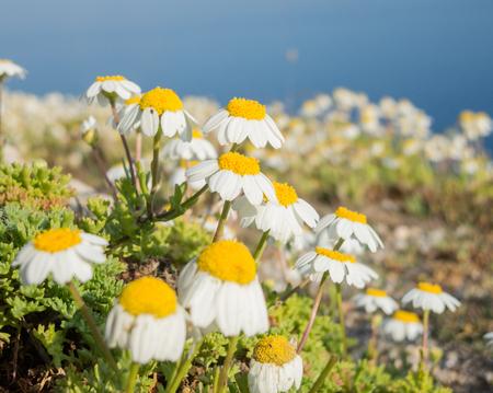 menorca: Daisies photographed in Menorca