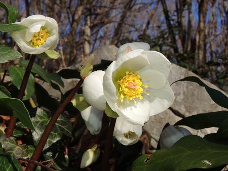 maleza: Rosa de Navidad o eléboro negro, Helleborus niger nombre original es, es una planta con flores de hoja perenne. Foto de archivo