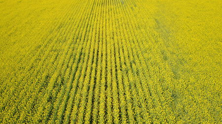 aerial view of yellow rapeseed fields during spring season