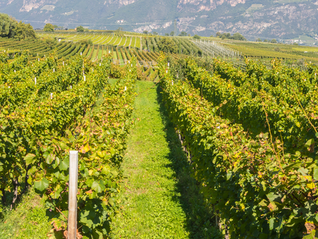 Landscape of the vineyards of Trentino Alto Adige in Italy. The wine route Stock Photo