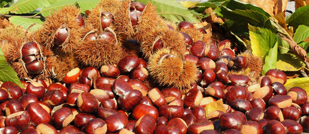 Autumn composition of chestnuts, hedgehog and chestnut leaves