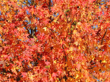 Liquidambar styraciflua, commonly called American sweetgum, in fall season with Its red, orange and yellow leaves