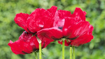 Group of red poppies. Bright red color Imagens