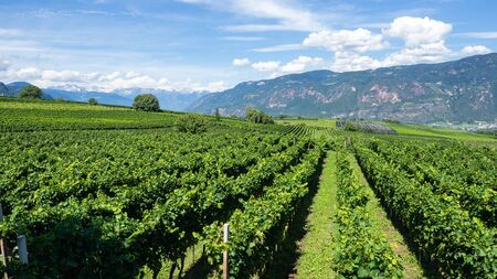 Amazing landscape at the vineyards of the Trentino Alto Adige in Italy. The wine route. Natural contest Foto de archivo