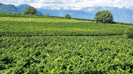 Amazing landscape at the vineyards of the Trentino Alto Adige in Italy. The wine route. Natural contest