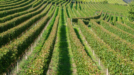 Amazing landscape at the vineyards of the Trentino Alto Adige in Italy. The wine route. Natural contest. Rows of vineyards. South Tyrolean wine culture Banque d'images