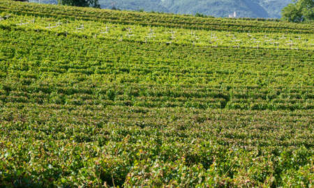 Amazing landscape at the vineyards of the Trentino Alto Adige in Italy. Banque d'images