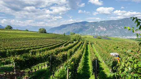Amazing landscape at the vineyards of the Trentino Alto Adige in Italy. The wine route. Natural contest. Rows of vineyards. South Tyrolean wine culture Éditoriale