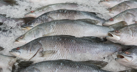 calcarifer: Fresh Silver perch fish (Lates calcarifer) on ice