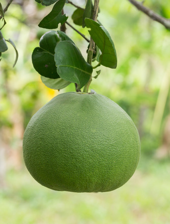 Green grapefruits on the tree photo