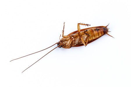 nocturnal: Dead cockroach on white background