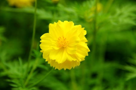 Beautiful sunny chamomile flowers close-up  photo