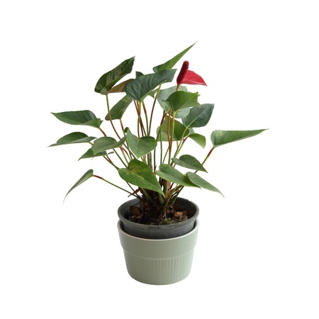 Small Tree with small pot Isolated over White Background
