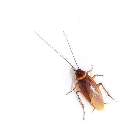 Cockroach geïsoleerd op witte achtergrond Stockfoto
