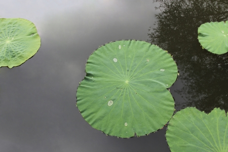 effloresce: Floating Lotus leave isolated over the gray shadow