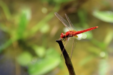 Red dragon fly resting on a straw photo