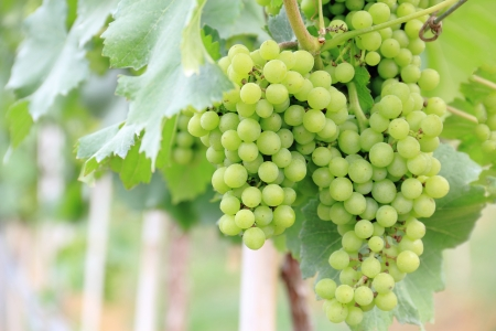 Green grapes in a vineyard for wine industry  Stock Photo