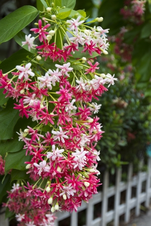 Pink Bouquet of Quisqualis Indica flower climb down from the wooden fence. Stock Photo