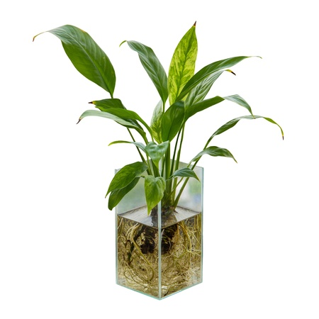 Spathiphyllum or Peace Lily in the glass vase Stock Photo