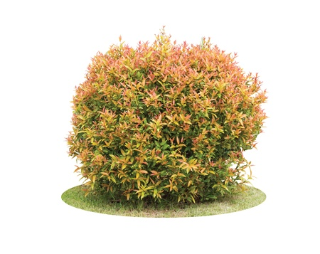 Colorful shrub of Pigeon Berry tree isolated over white background