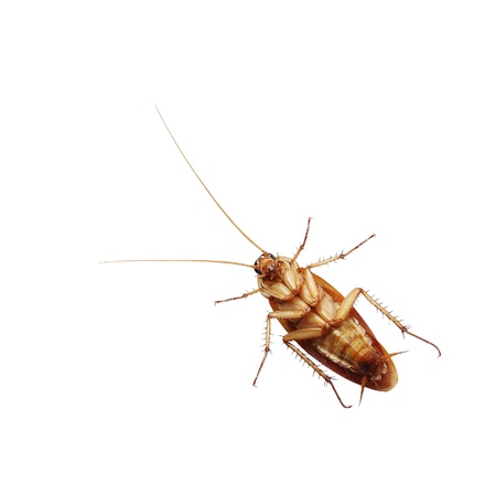 nightmarish: Brown cockroach isolated over white background  Stock Photo