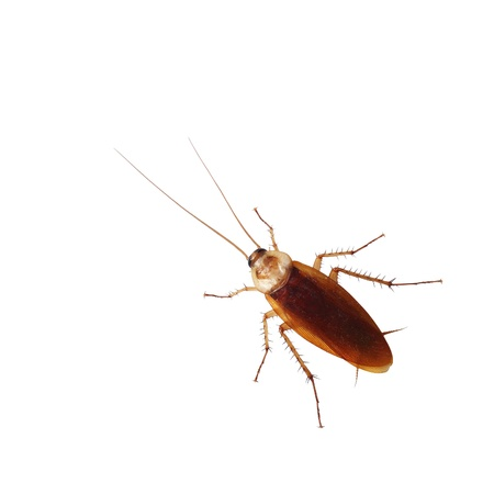 Brown cockroach isolated over white background  Stock Photo