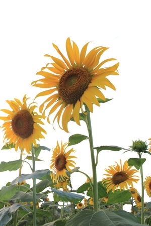 Sunflower field with white background Stock Photo