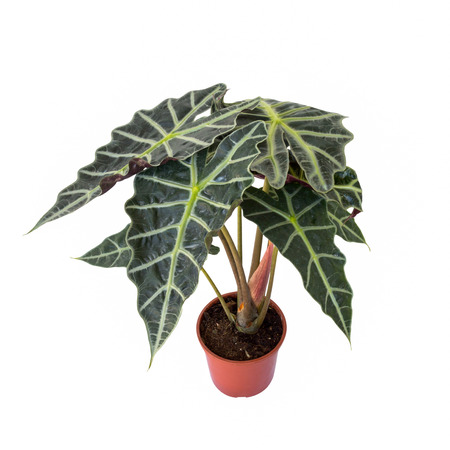Fortune Tree, A small of Tricolor Nephthytis tree in the red pot  Stock Photo