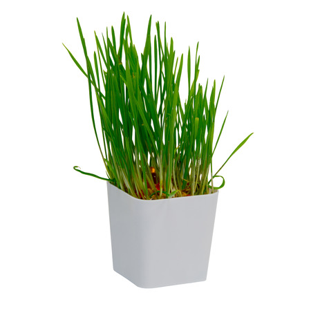 Young rice sprout growing in small plastic pot over white background, decoration tree in the house
