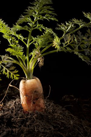 planted: Carrot Planted in Soil  Stock Photo