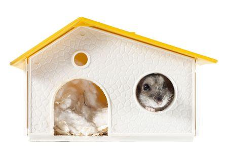 russian hamster: Hamster Inside House Stock Photo